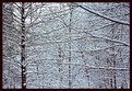 Picture Title - Snowy Branches