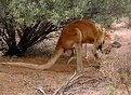 Picture Title - Big Red Kangaroo