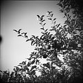 Picture Title - Pommes d'Adam
