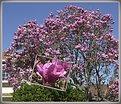 Picture Title - Magnolia tree(#2)
