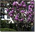 Picture Title - Magnolia tree(#3)