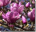 Picture Title - Magnolia tree(#4)