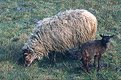 Picture Title - black sheep in the family