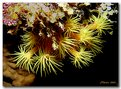 Picture Title - Orange Cup Corals