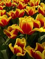 Picture Title - Happy Tulips