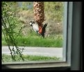 Picture Title - Spotted a spotted woodpecker