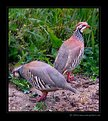 Picture Title - Famouse grouse