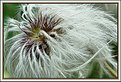 Picture Title - Clematis seed 2