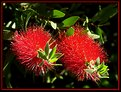 Picture Title - Red urchins.