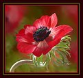 Picture Title - Red Anemone
