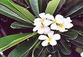 Picture Title - Plumeria blooms