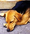 Picture Title - Sleeping dog