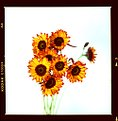 Picture Title - Sunflowers Crossed 2