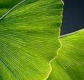 Picture Title - Gingko Study No. 9