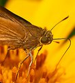 Picture Title - Hylephila Phyleus