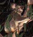Picture Title - The Demonic Koala II