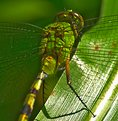 Picture Title - Green dragonfly II