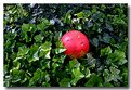 Picture Title - Red Ball in Ivy