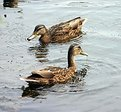 Picture Title - two ducks