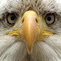 Eagle hypnosis (1)