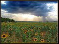 The last sunflowers (Cardenete)