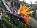 Picture Title - Strelitzia reginae