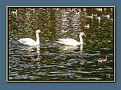 Picture Title - Swans!