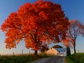 Picture Title - Flaming Ash Tree