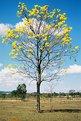 Picture Title - Ipê amarelo