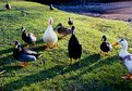 Picture Title - The duck meeting