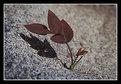 Picture Title - Birch sapling