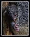 Picture Title - Baby Koala