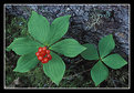 Picture Title - Dwarf Dogwood