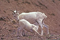 Picture Title - Dall Sheep Ewe and lamb