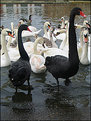 Picture Title - ~Black Swans~