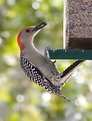 Picture Title - Red-Bellied Woodpecker