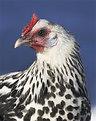Picture Title - Poultry Portrait
