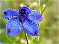 Picture Title - ~Blue Flower~