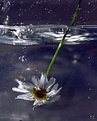 Picture Title - Swiming flower