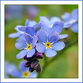 Picture Title - Forget-Me-Nots
