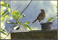 Picture Title - little robin
