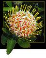 Picture Title - Leucospermum Cordifolium1(SouthAfrica)