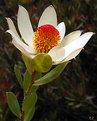 Picture Title - Leucadendron Procerum (1)