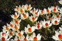 Picture Title - Leucadendron Procerum (2)