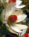 Picture Title - Leucadendron Procerum (3)