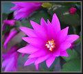 Picture Title - Spring Cactus