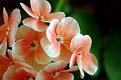 Picture Title - geranium