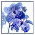 Picture Title - Blue Orchidea
