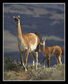 Picture Title - Mother and Baby Guanaco