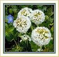 Picture Title - Primula Balls